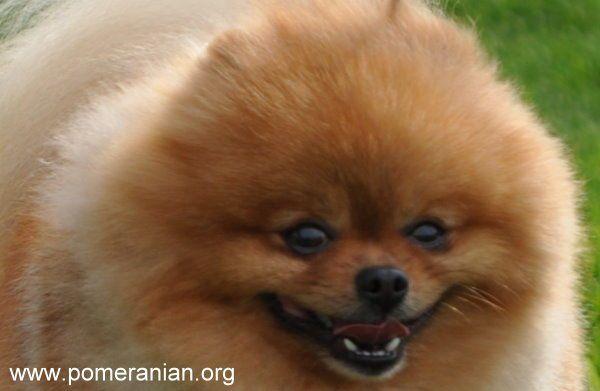 Pomeranian Teeth Pomeranian Tooth Loss Poms Pinterest