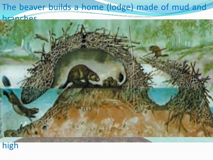 the beaver builds a home (lodge) made of mud and branches \u003cbr \u003ethe
