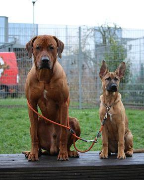 Rhodesian Ridgeback And Belgian Malinois Rhodesian Ridgeback Dog Beautiful Dogs Rhodesian Ridgeback