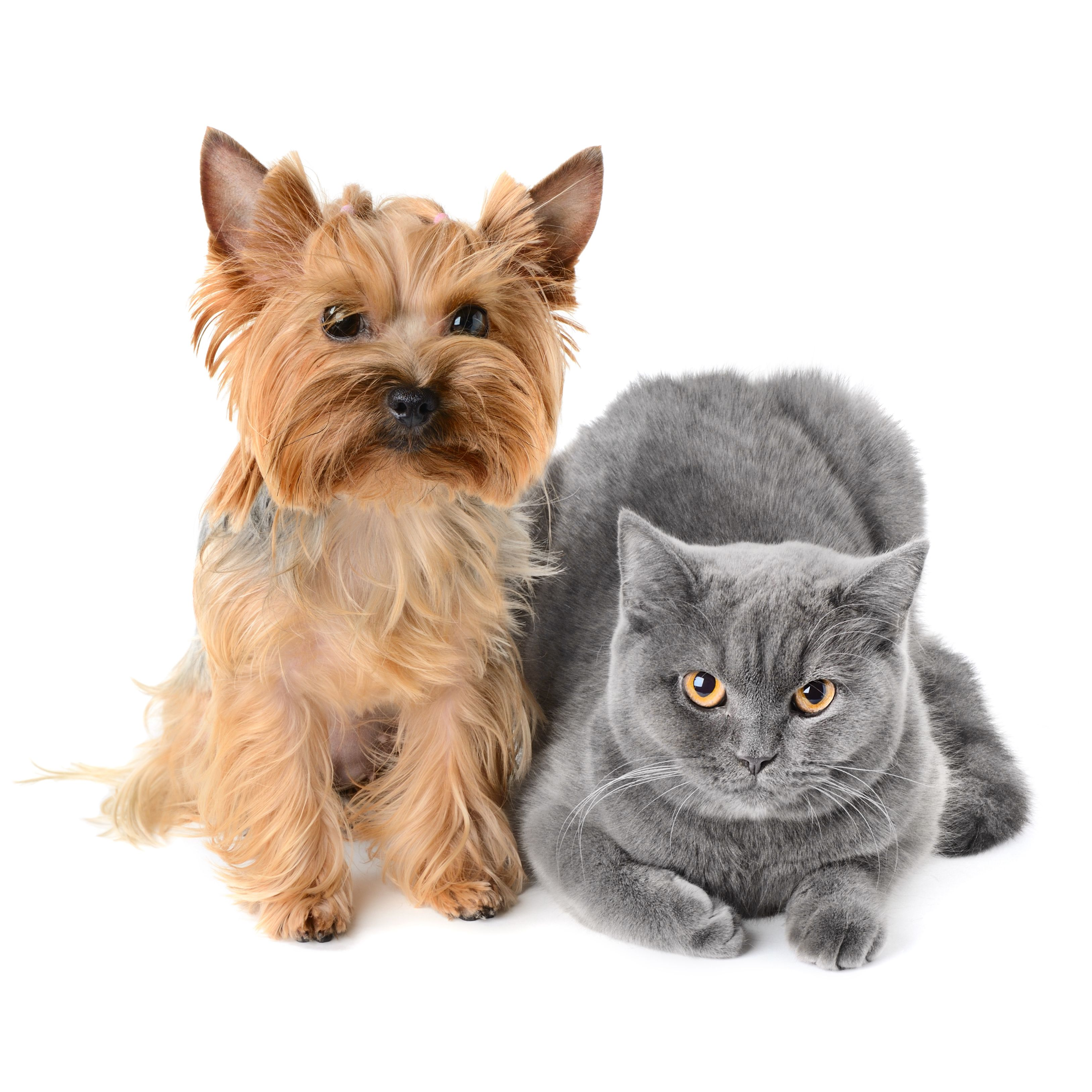 More than 50 of cats who develop pancreatitis have other
