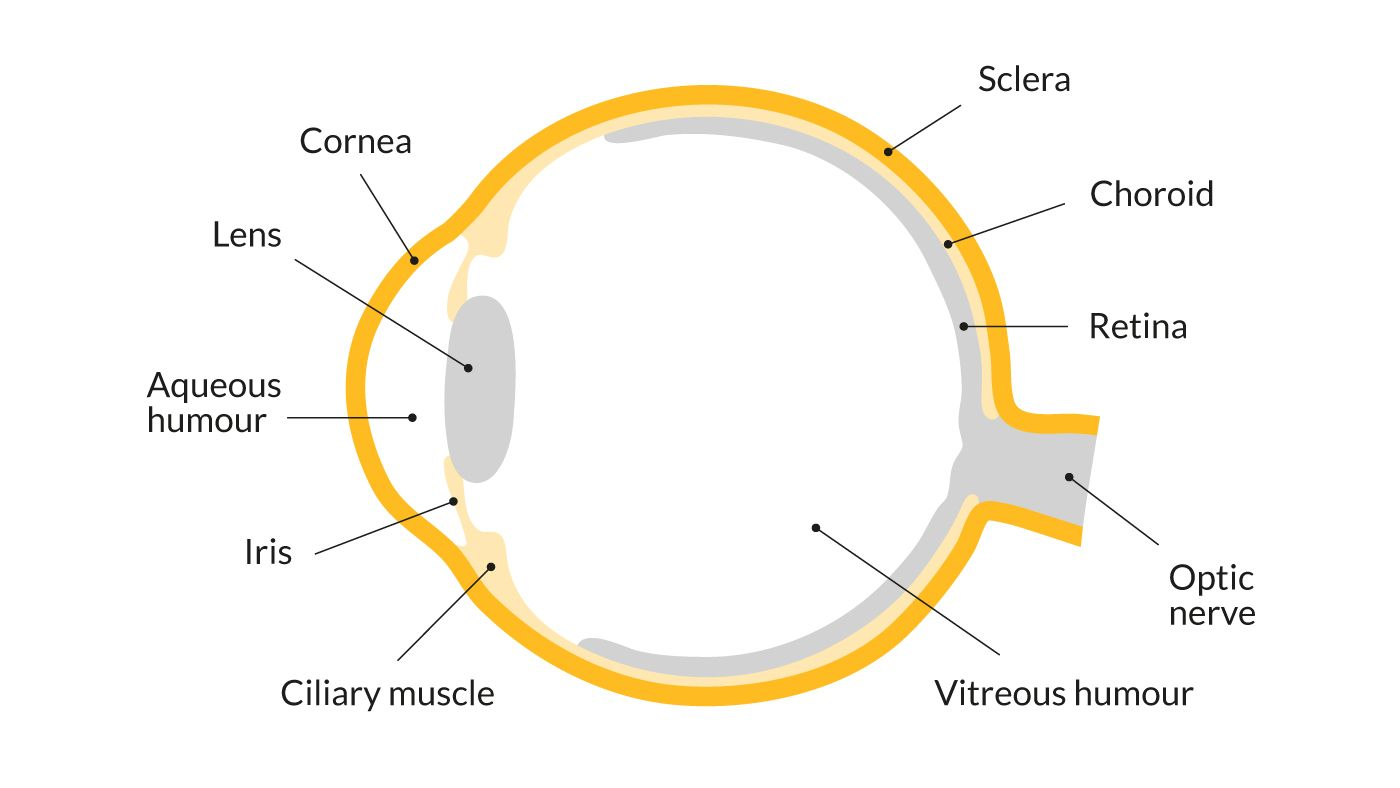 A Diagram Showing The Parts Of The Eye Including The