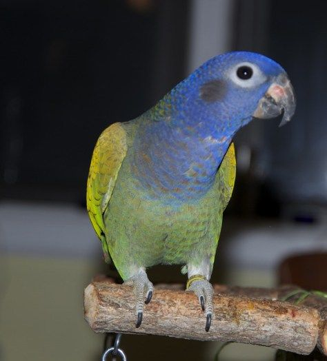3 Great Apartment Pets Awesome Pets For Apartment Dwellers Pionus Parrot Pet Parrot