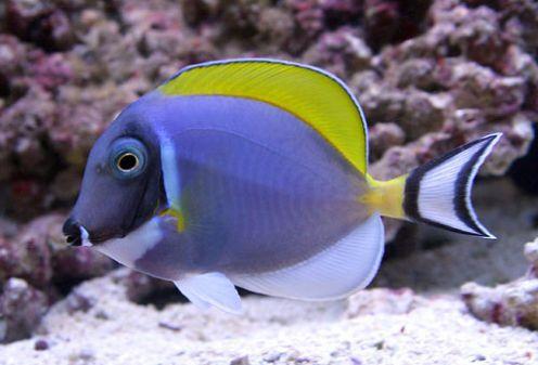 Powder Blue Tang Marine Fish Sea Fish Aquarium Fish