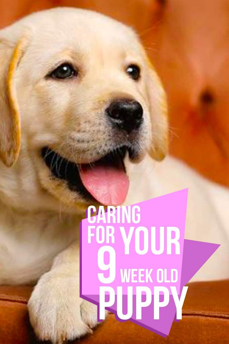 9 Week Old Puppy Schedules And What To Expect Puppy Training Training Your Dog Training Your Puppy