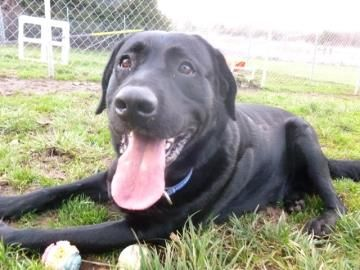 Oregon Roscoe Is A Neutered 3yo Black Labrador Retriever In Need