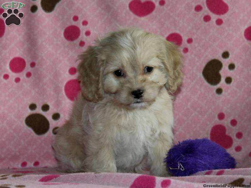 Beauty , a Cocker Spaniel Mix puppy for sale from Lititz