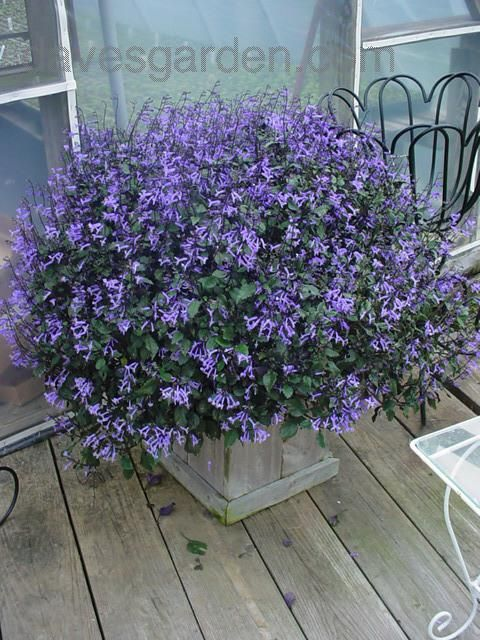 Types Of Lavender Plants Today S Bloom Is Plectranthus Mona