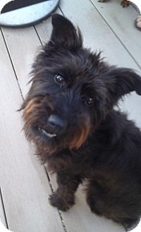 Columbia Md Cairn Terrier Mix Meet Lily A Dog For Adoption
