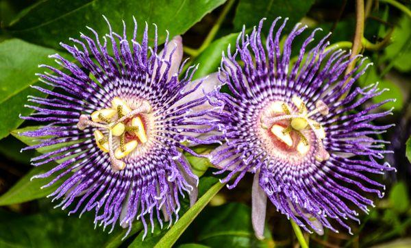 Passionflower Medicinal Uses Schone Blumen Blumen Bluten Blumen