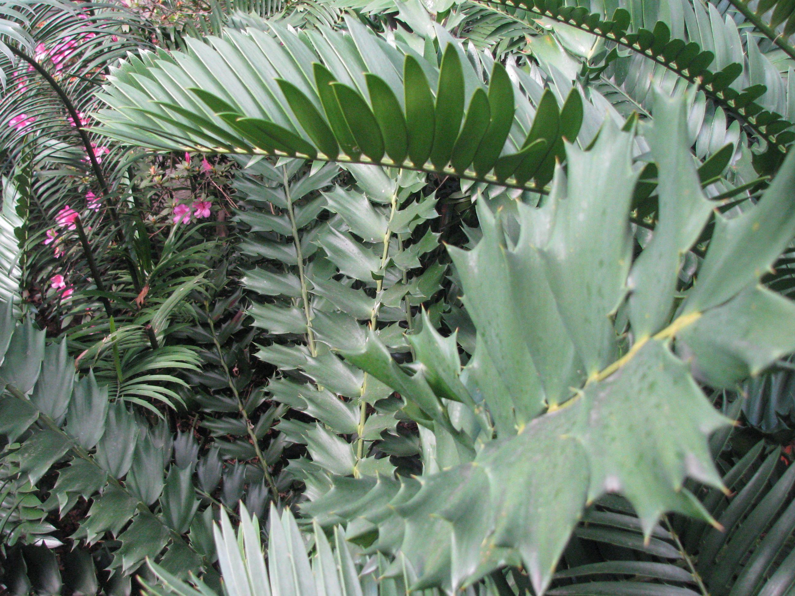Encephalartos Ferox South African Cycad That Has Broad