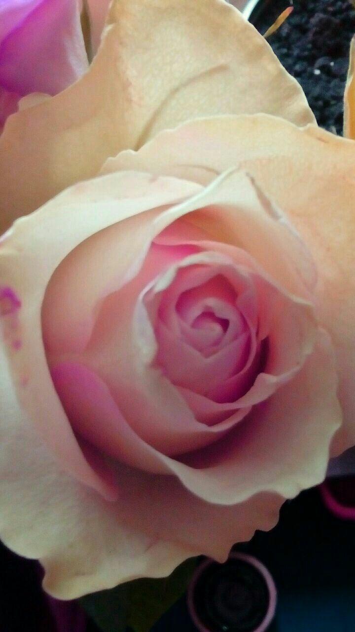 Pin by ayşegül yöney on gülistan pinterest rose flowers and