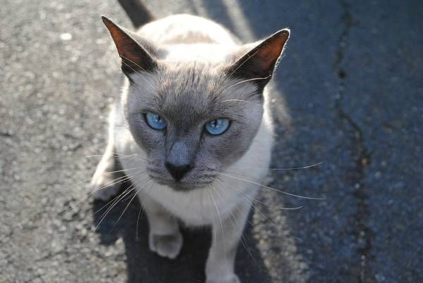 Lost Siamese Please Help New Haven East Haven Border Lost Or