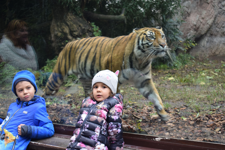 Tiger and children Tigri, Copii