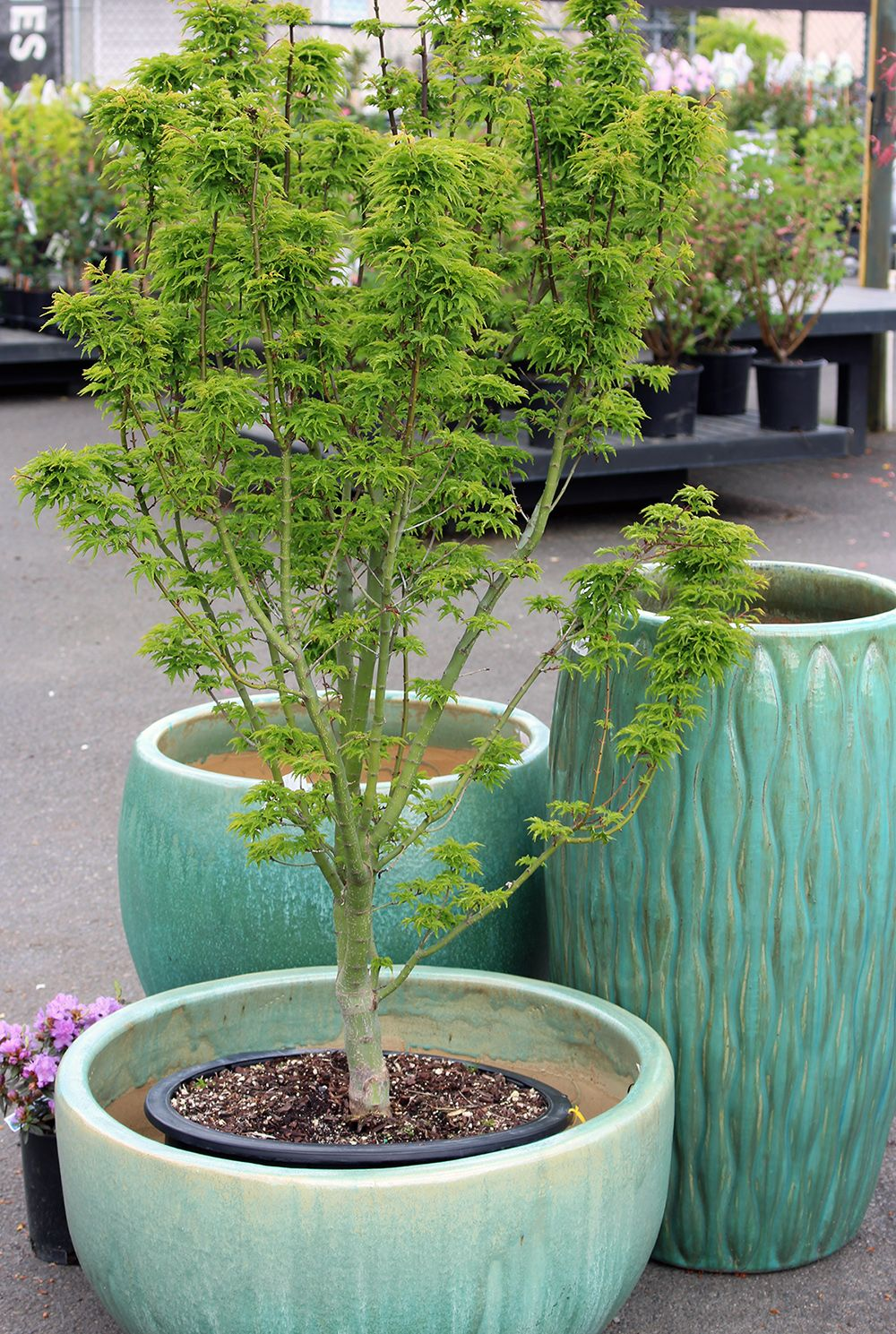 Lions Head Japanese Maple Is An Upright Compact And Slow Growing