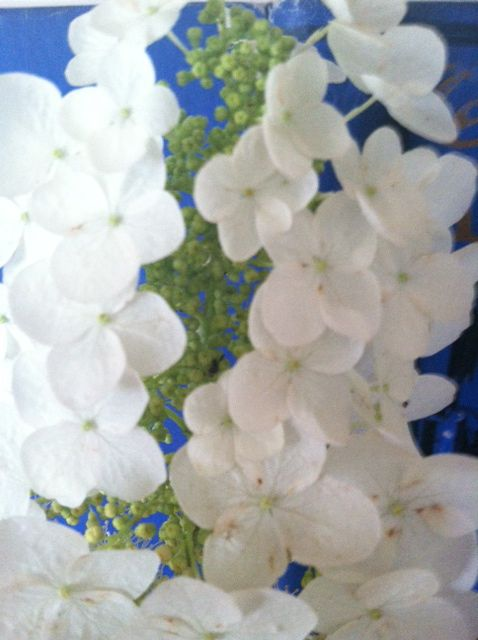 lovely white hydrangea blooms in front yard