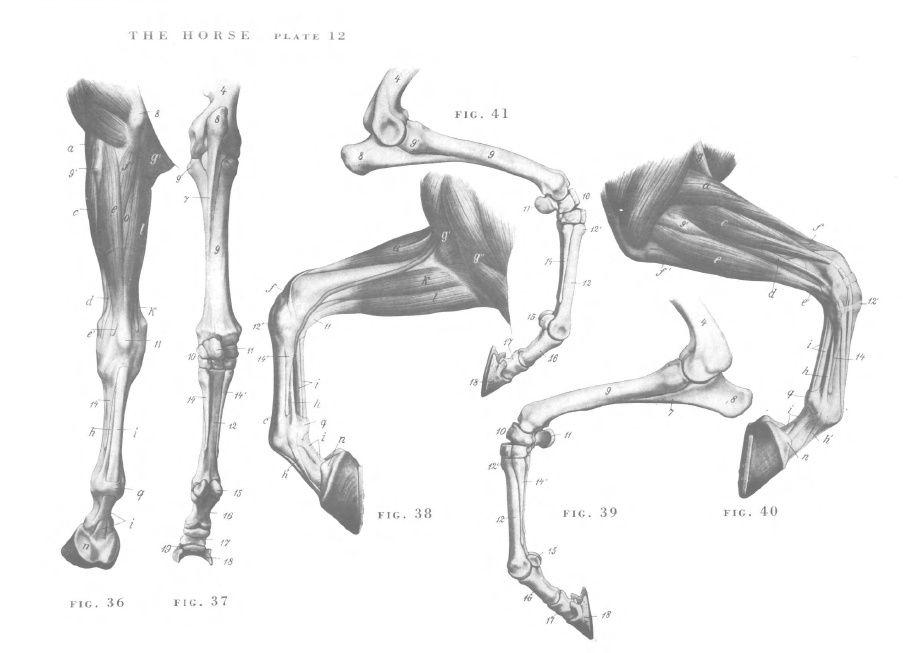Horse Anatomy Legs Projetsss Pinterest