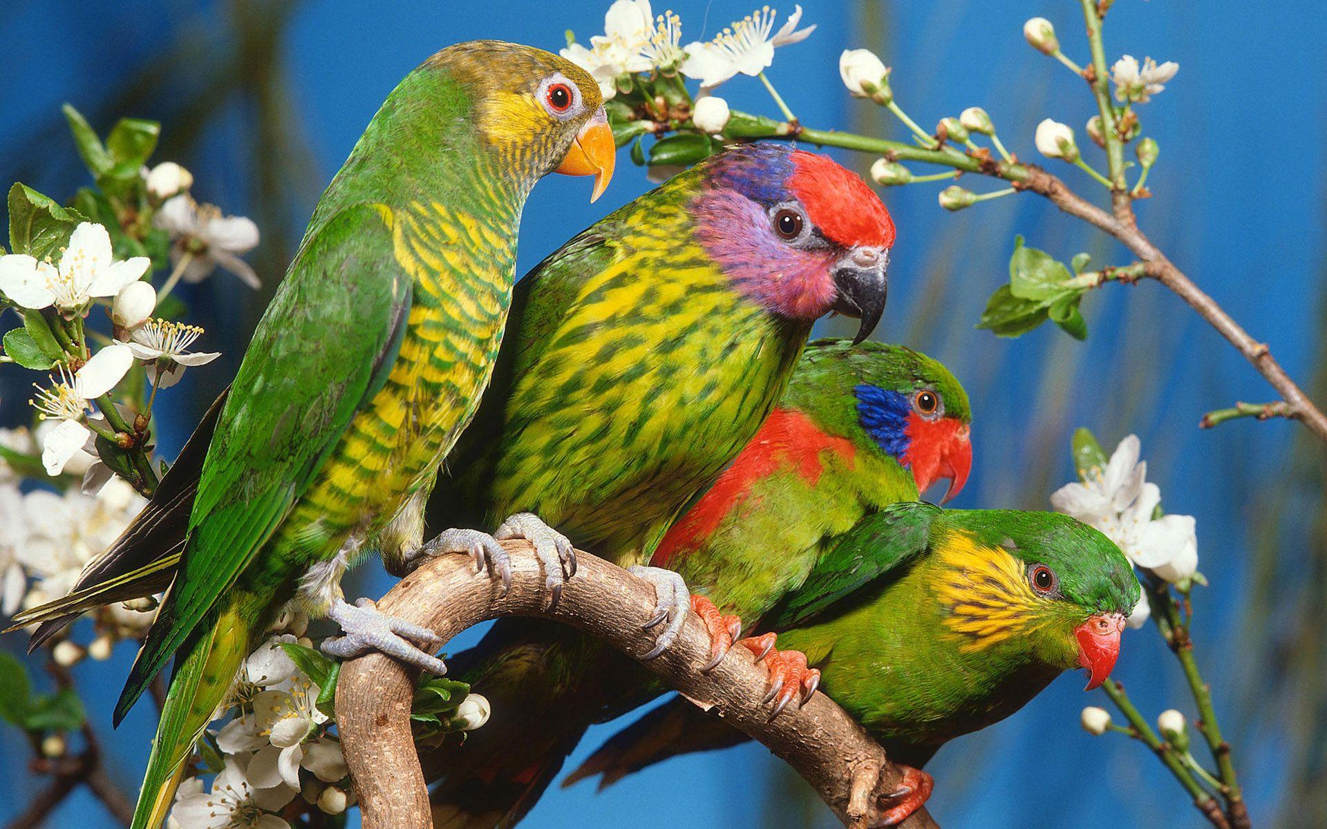 wallpaper parrots birds hd wallpaper high definition