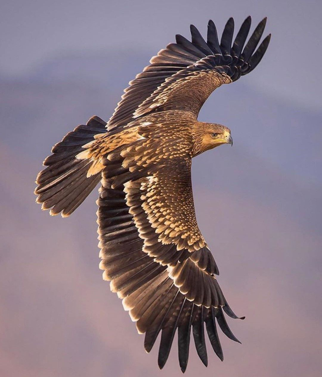 #Eagle #flying in the #topmost