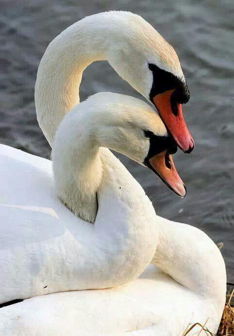 Swans cuddling