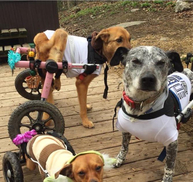 الإنسانية فى أبهى صورة سيدة تربى 6 كلاب ذوى احتياجات خاصة وفاء لكلبها الراحل Dogs Animals
