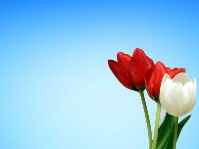 Aesthetics Red White Tulips Spring Background Wallpaper