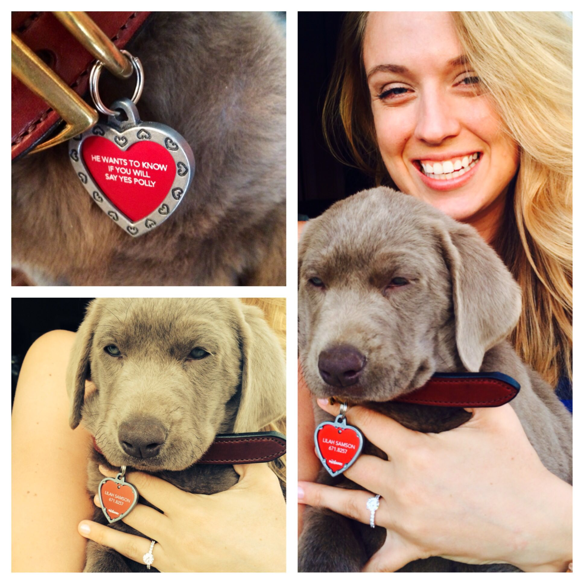 Puppy Proposal Silver Lab What A Cutie Repin From My Beautiful