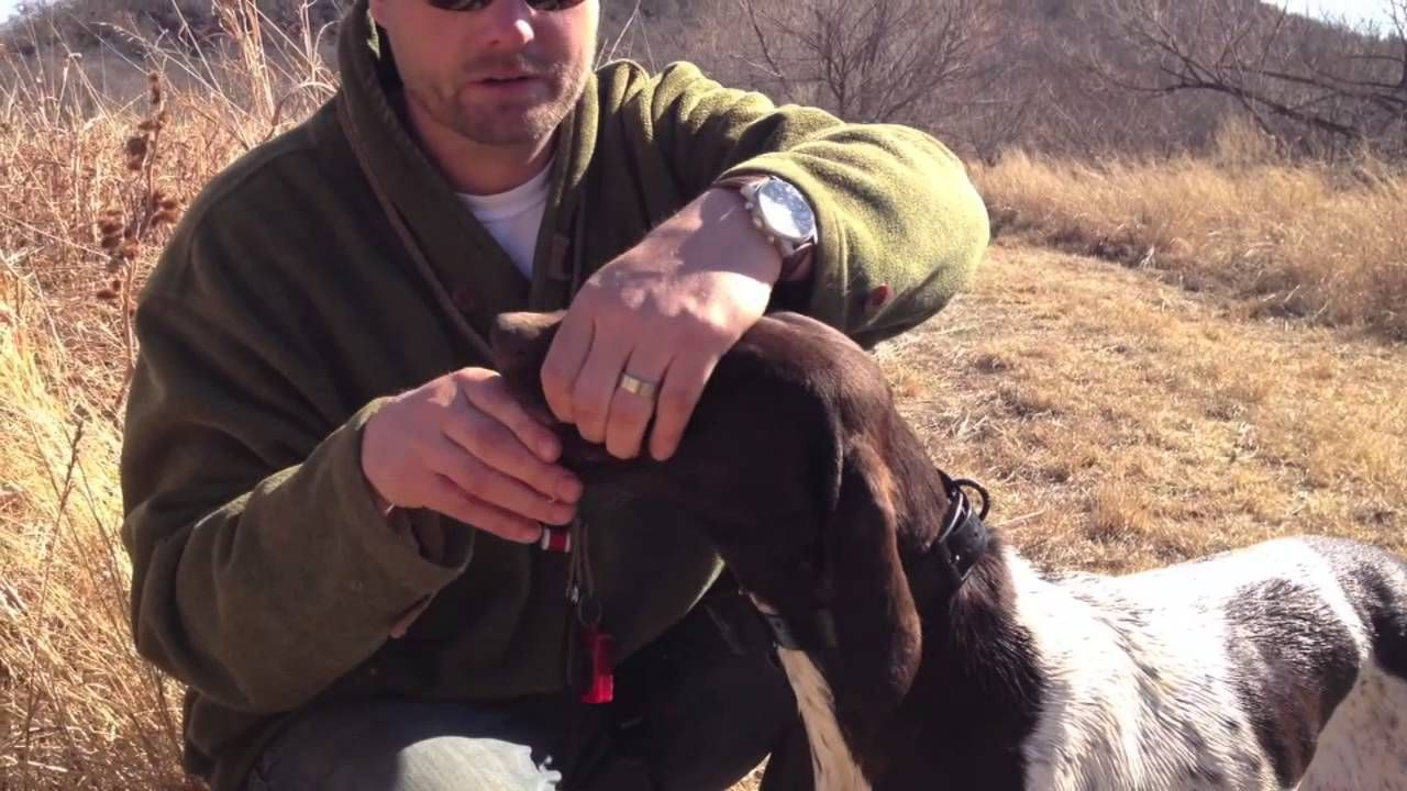 Hunting Dog Training Reinforcing Retrieve And Hold Dog