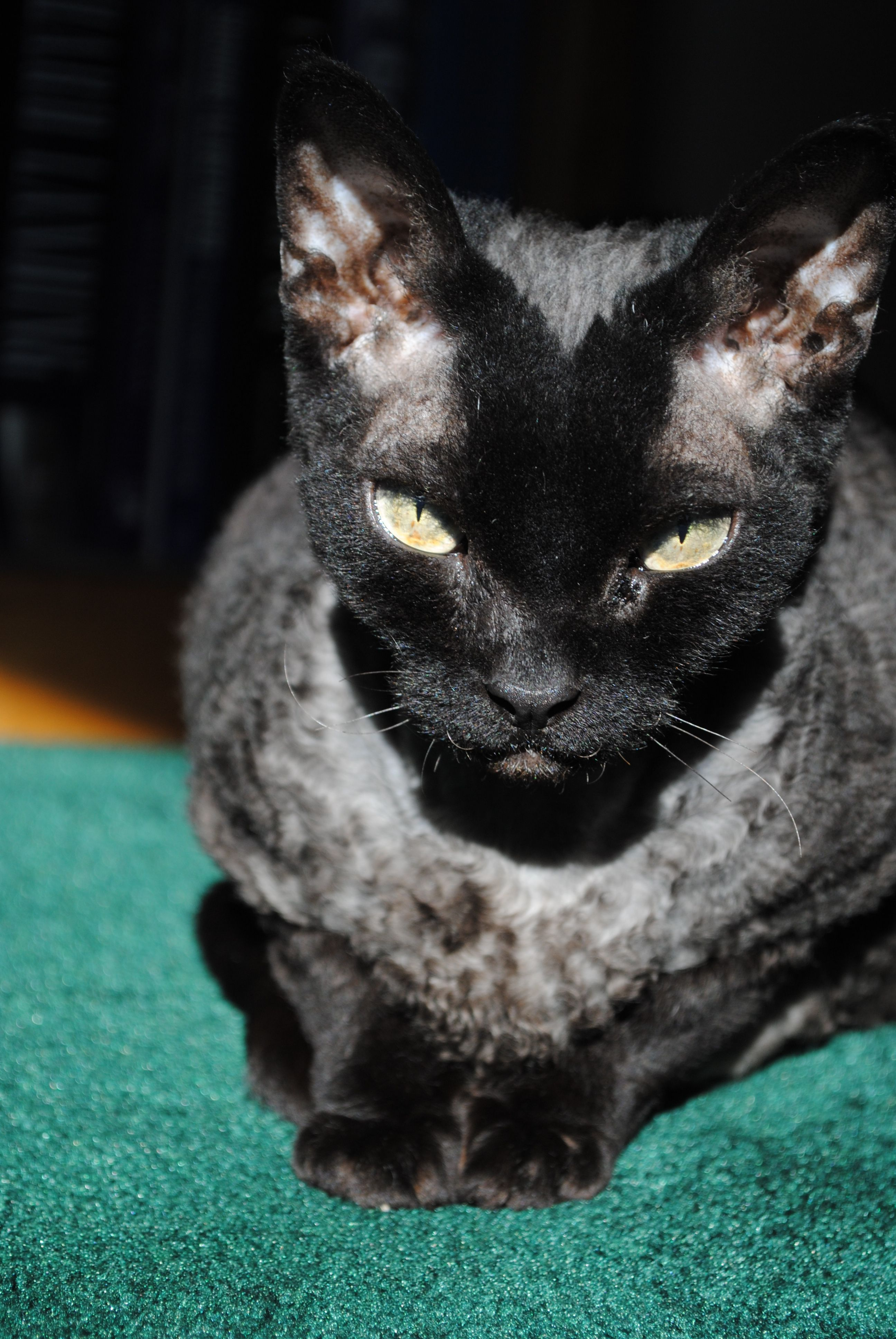 I took this picture of my aunt's devon rex cat Moose on christmas