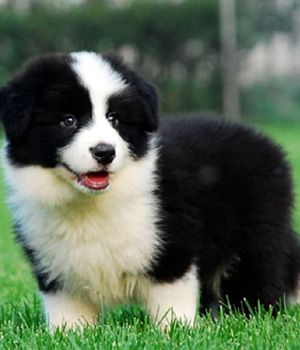 Border Collie Price Temperament Life Span Collie Puppies