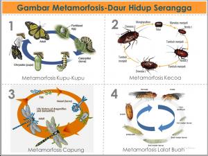 Pengertiancontoh Metamorfosis Sempurna Tidak Sempurna Lengkap Http Ift Tt 2mfl6nv Serangga Gambar Hewan Hewan