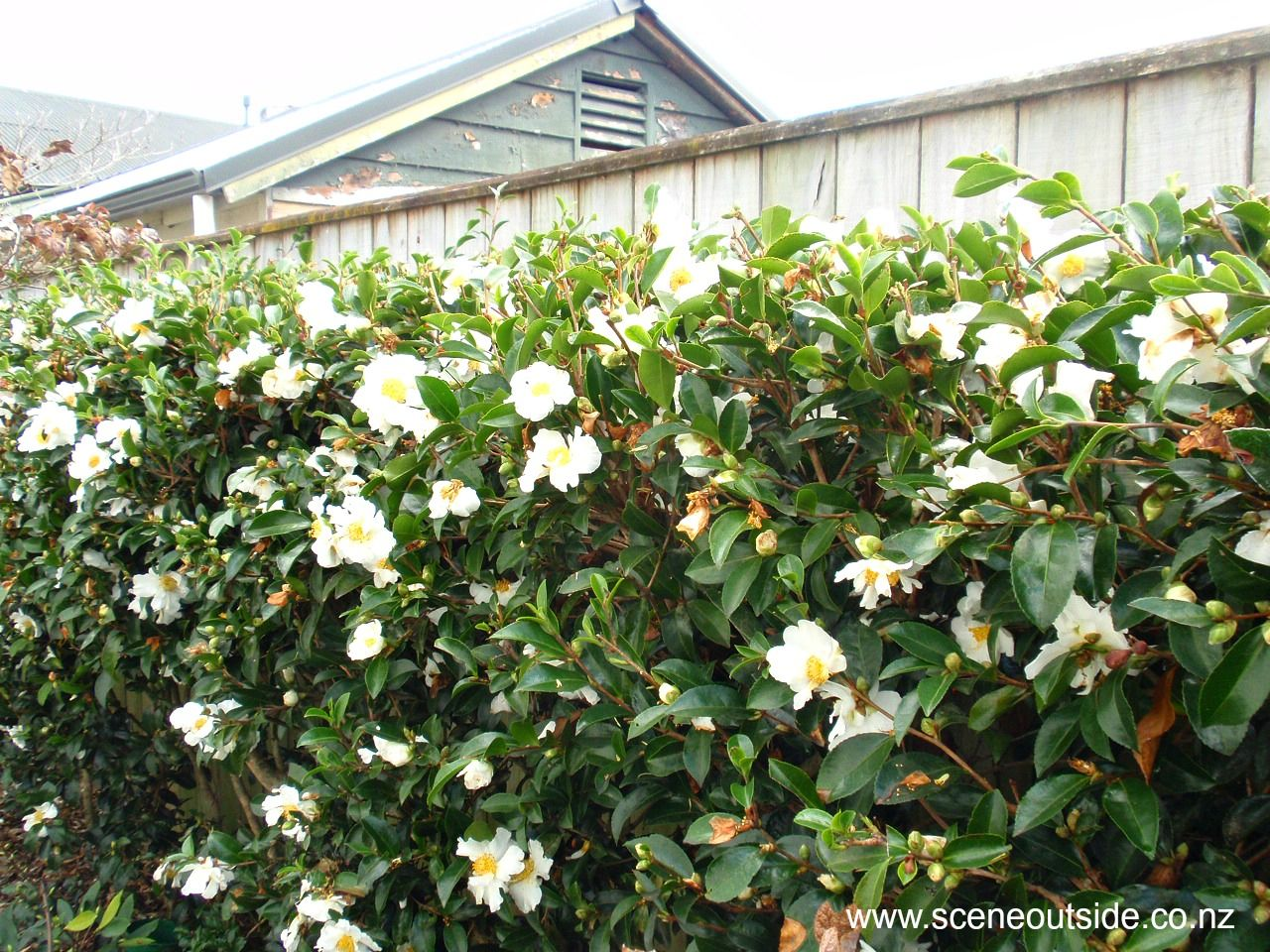 Camellias Prettily Disguise Not So Lovely Moments Such As Fences And Weird Spaces Where You Want Something But Small Courtyard Gardens Hedges Garden Planning