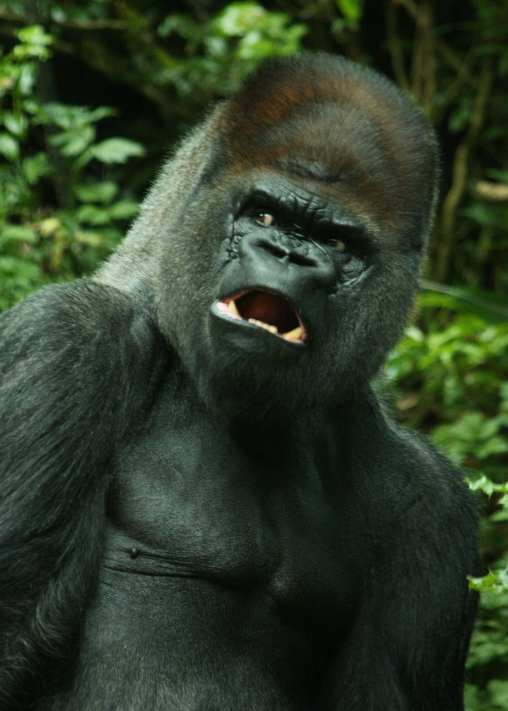ape monkey gorilla Silverback gorilla, Animals beautiful