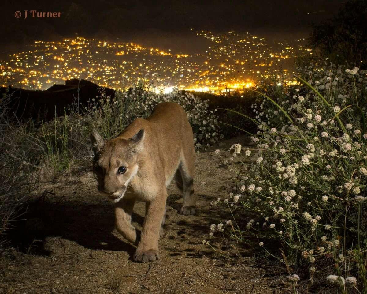 cougar auvergne français