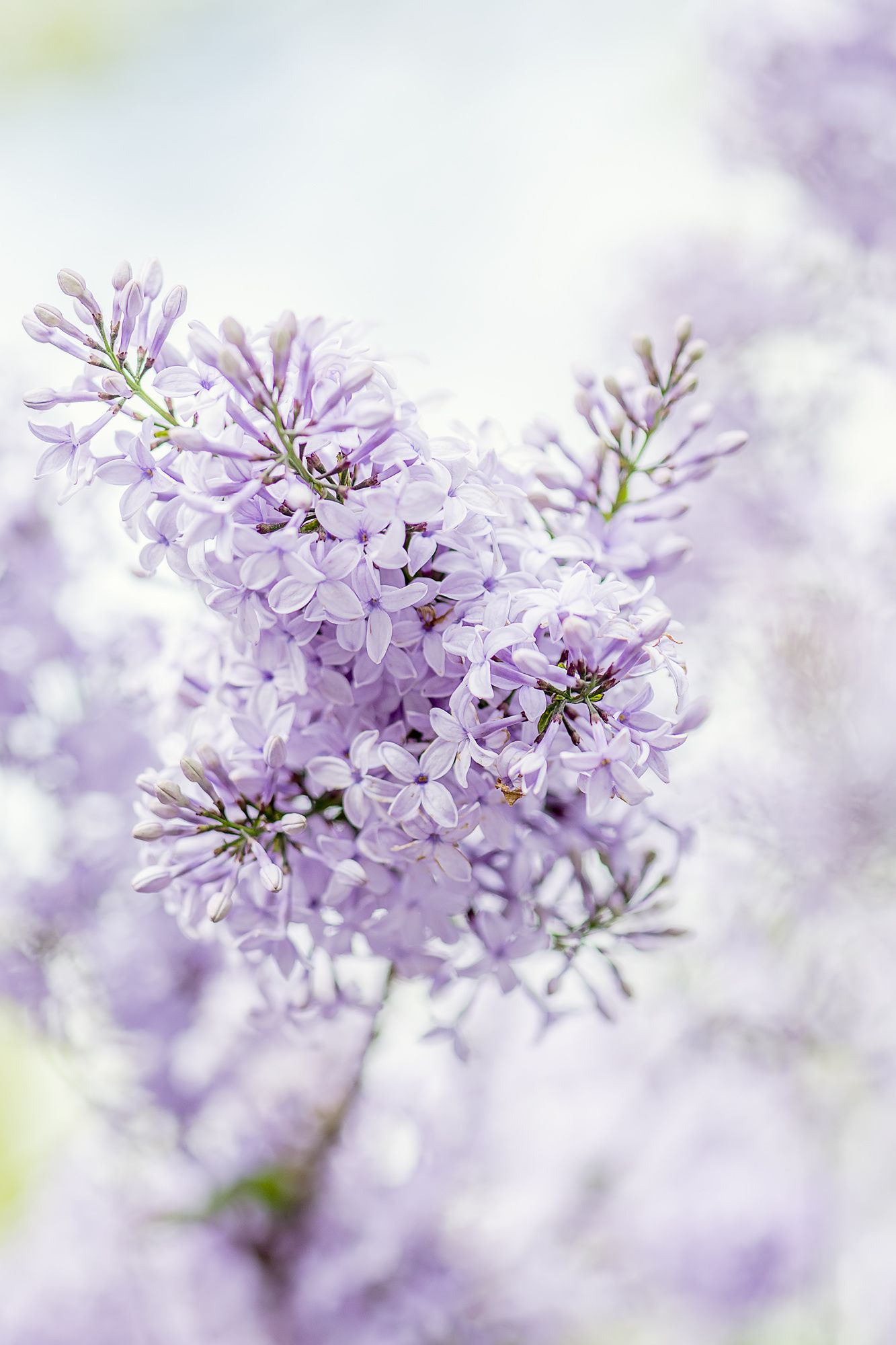 Syringa Vulgaris Lilac Or Common Lilac Is A Species Of Flowering Plant In The Olive Family Oleaceae Raindrops And Roses Lilac Purple Flowers