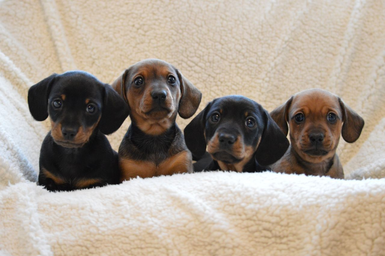 Miniature Short Haired Dachshund For Sale Short haired