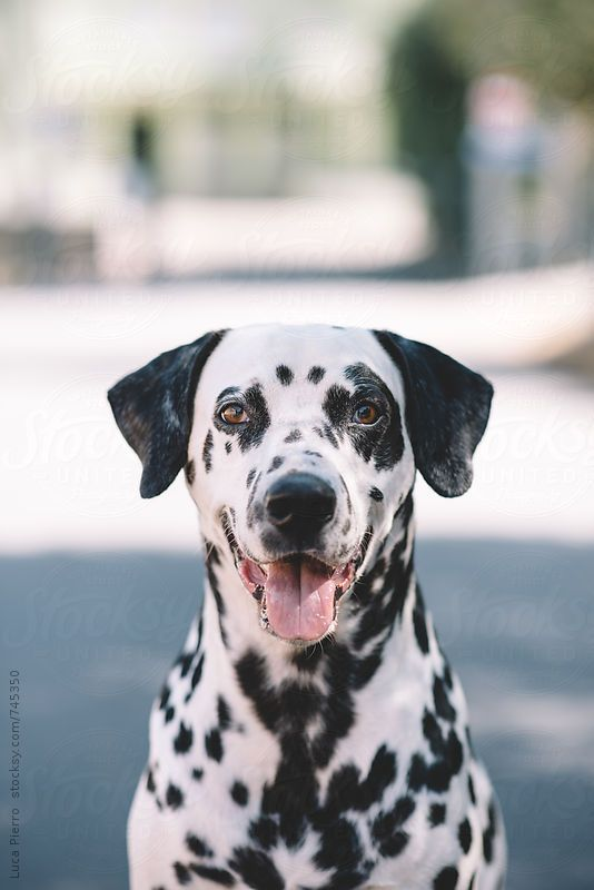 Portrait Of A Beautiful Dalmatian Dog Looking At Camera By Luca