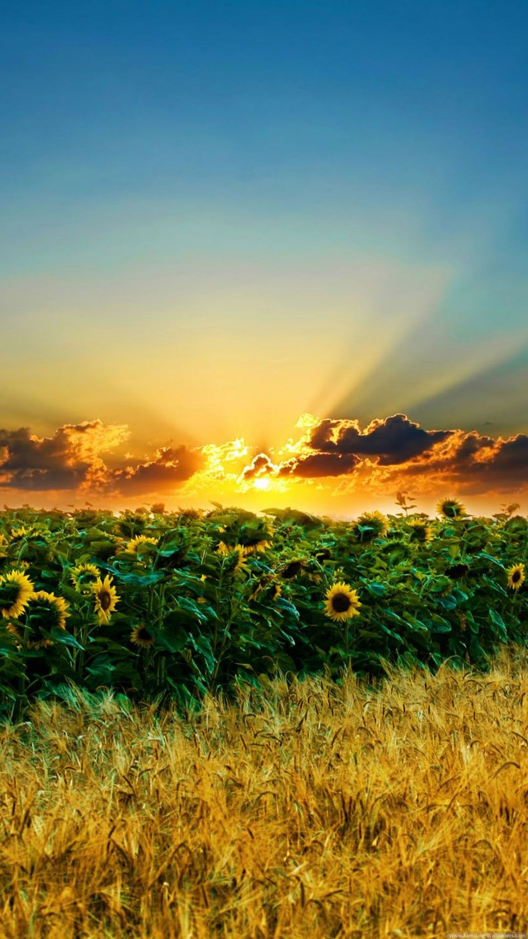 Nature iPhone 6 Plus Wallpapers Sunset Over Sunflower