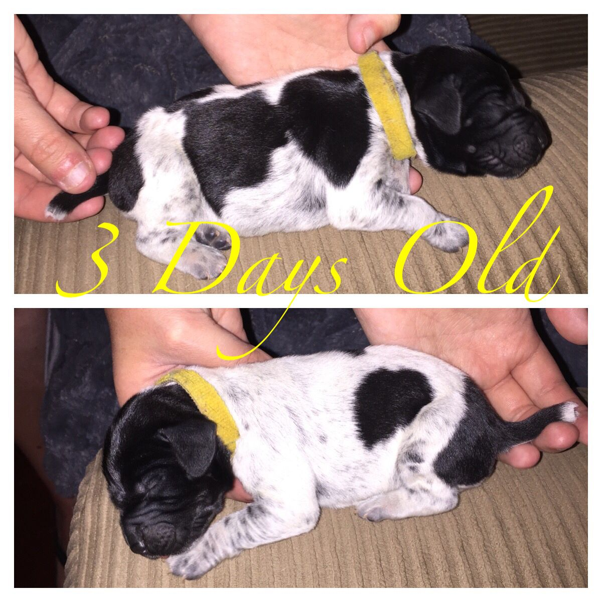 German Shorthaired Pointer Dog Breed Pictures, page 1  |Black Ticked German Shorthaired Pointer Puppies