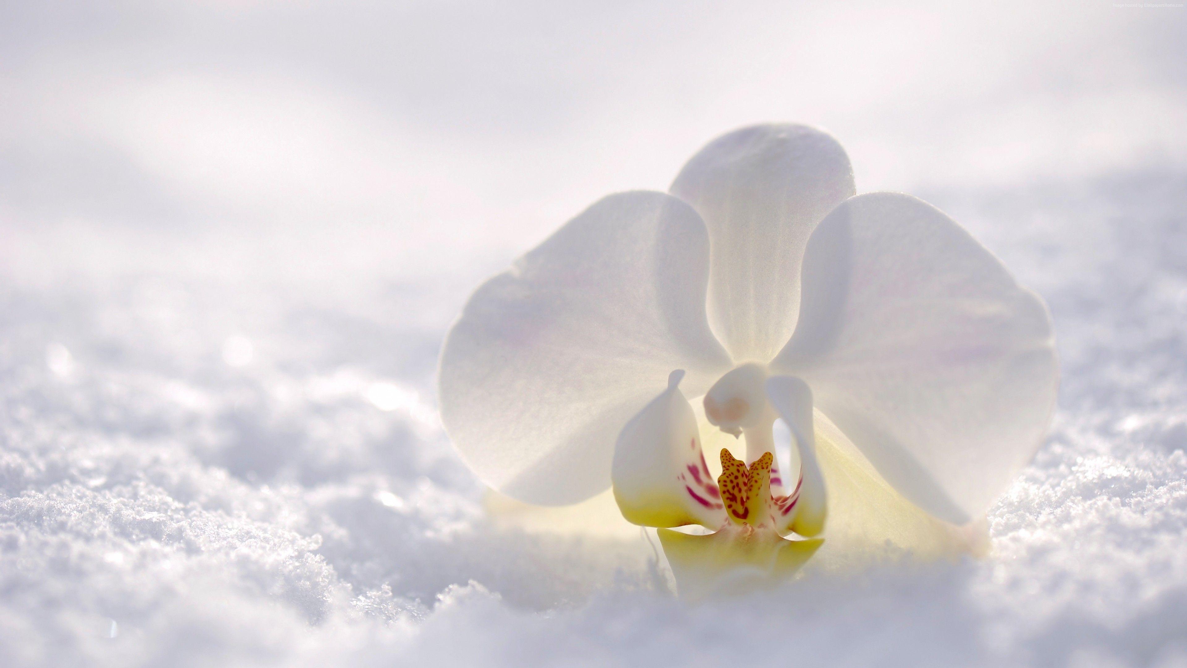 Stock Images Orchid Flower Snow Winter White 4k Stock Images Http Www Wallpaperback Net Stock Stock Images Orchid Orchid Wallpaper Orchids Wild Orchid