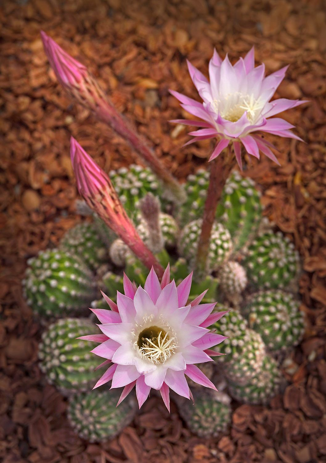 Easter Lily Cactus Hardy To Zone 8 Very Small Cactus Full Sun