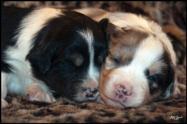 Pups Are 3 Weeks Old Black Tri Male And Blue Merle Male
