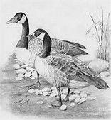 Resultado de imagen de Goose drawing