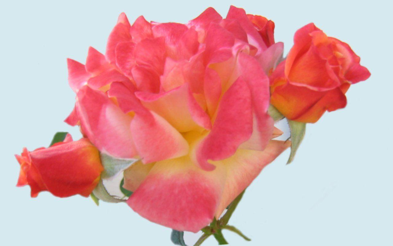 Prettiest Roses | Widescreen wallpaper - Beautiful Colorful Roses