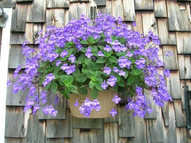 Streptocarpella Streptocarpus saxorum 6cm pot easy everlasting hanging basket