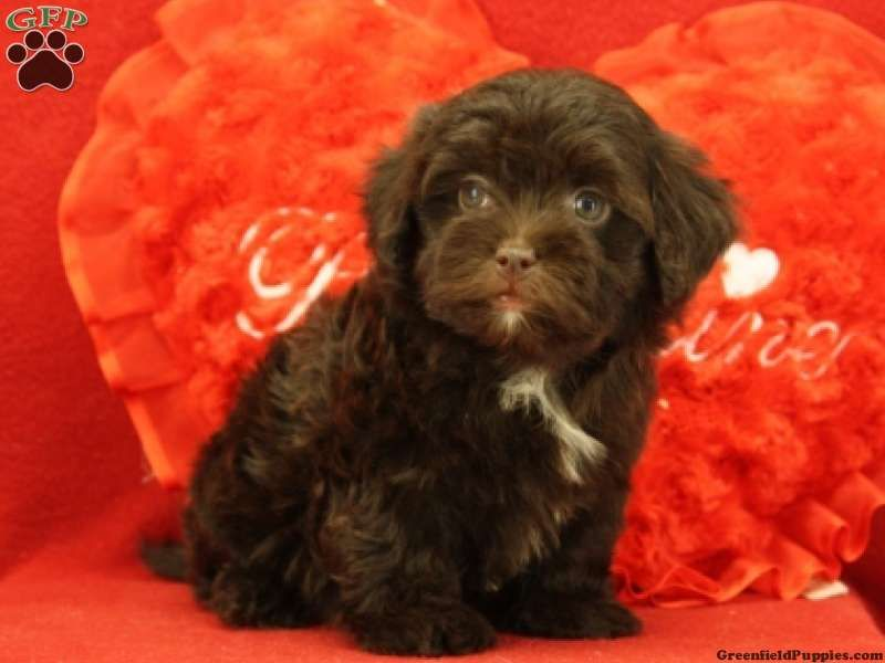 Havana havapoo puppy havapoo puppies pedigree dog