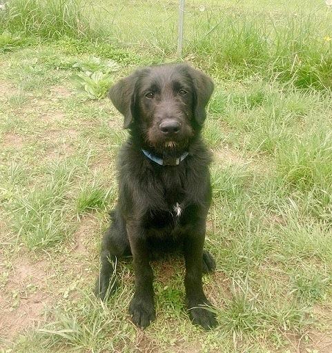 Adopt Birks on Petfinder Dog adoption, Poodle mix dogs