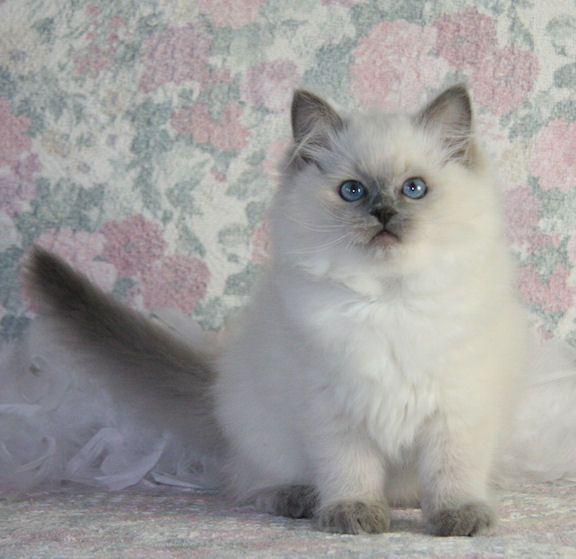 Ragdolls Are The Best Ragdoll Cat Ragdoll Kitten Cats