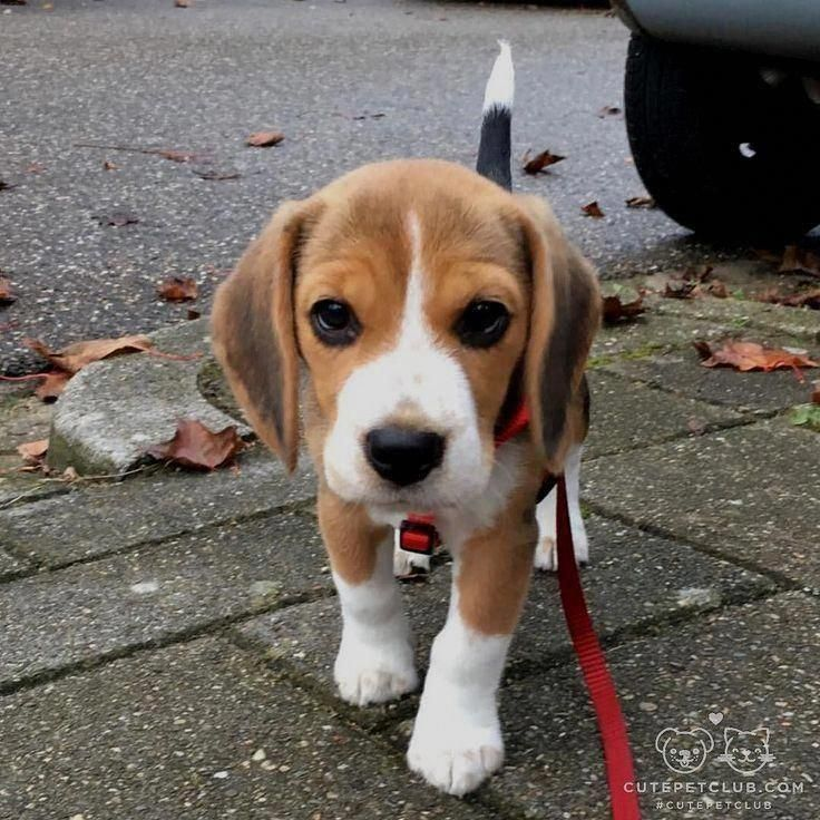 Receive Fantastic Suggestions On Beagle Puppies They Are
