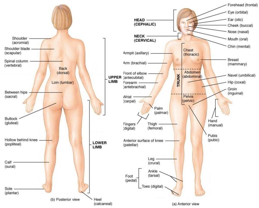 Human Body Organ System Diagram Human Anatomy Pictures Human