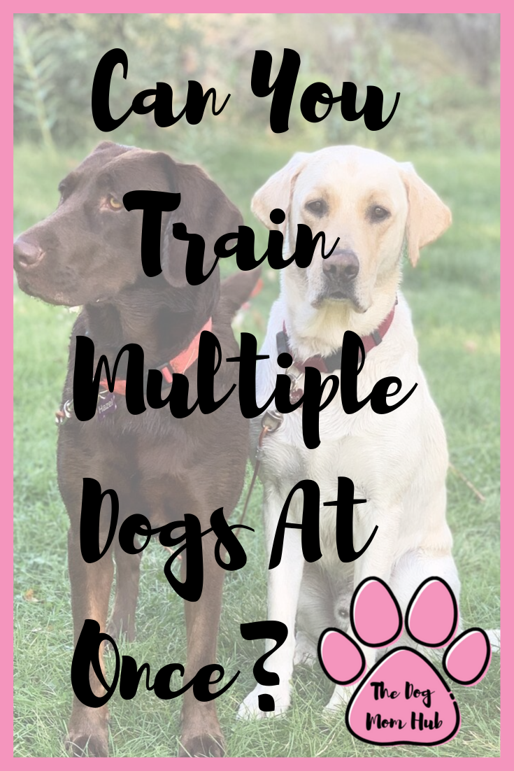 Is It Possible To Train Mutuple Dogs At The Same Time Some Dog Trainers Will Tell You No You Cannot Here Is Why I Am Say Multiple Dogs Dogs Dog Training